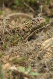 Lizard closeup Royalty Free Stock Image