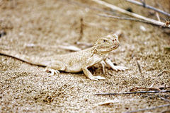 Lizard closeup Royalty Free Stock Images