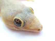 Lizard closeup Royalty Free Stock Images