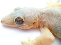 Lizard closeup Stock Images