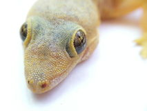 Lizard closeup Royalty Free Stock Photo