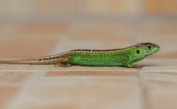 Lizard Royalty Free Stock Image