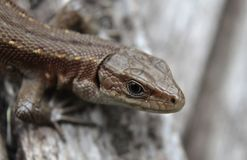 Lizard clouse up summer time. Macro eye Stock Photography