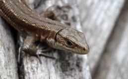 Lizard clouse up summer time. Macro eye Royalty Free Stock Image