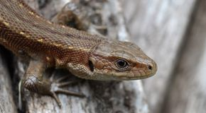 Lizard clouse up summer time. Macro eye Stock Images