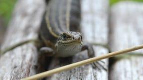 Lizard clouse up summer time. Macro eye Stock Photos