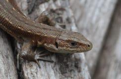 Lizard clouse up summer time. Macro eye Royalty Free Stock Photos