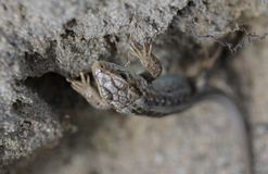 Lizard clouse up summer time. Macro eye Royalty Free Stock Photography