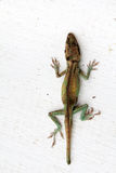 Lizard. Colored lizard on neutral white background Royalty Free Stock Images
