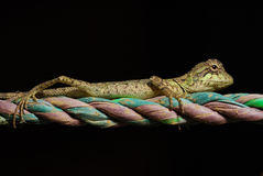 Lizard on a colored rope Stock Images