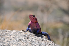 Lizard. Colorful lizard sunning on a rock Stock Images