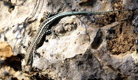 Lizard. A colourful lizard lives on the mountains royalty free stock photography