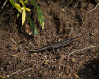 Lizard (common skink) Baking in the Sun Royalty Free Stock Images
