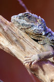 Lizard cordylidae changing skin resting on wood closeup vertical royalty free stock images