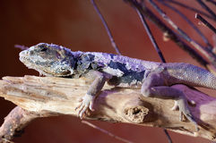 Lizard cordylidae changing skin resting on wood Stock Photography