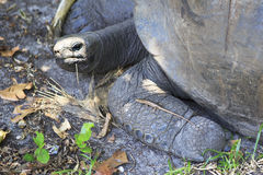 Lizard crawled on foot Aldabra giant tortoise Royalty Free Stock Image