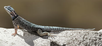 A lizard Stock Photos