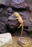 Lizard crawling on a rock Stock Image