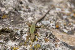 Lizard crawling on the rock. Wildlife. Animals. Nature. Climb. Natural background stock photos