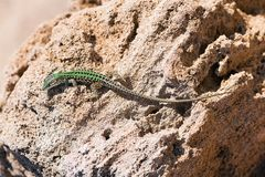 Lizard crawling on the rock. Wildlife in Puglia, Salento, Italy stock images