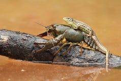 Lizard on crayfish Royalty Free Stock Photo