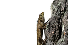 Lizard creeping on wood with white background. Bearded dragon  lizard creeping  on wood with white background Royalty Free Stock Photo