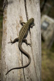 A lizard creeps on a barrel Stock Image