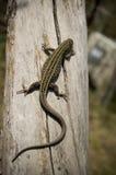 A lizard creeps on a barrel Stock Image