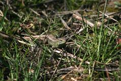 The lizard creeps through the green spring grass and warms up in the sun. Royalty Free Stock Photos