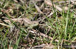 The lizard creeps through the green spring grass and warms up in the sun. Royalty Free Stock Photo