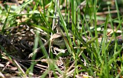The lizard creeps through the green spring grass and warms up in the sun. Royalty Free Stock Photography