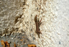 Lizard with cut off tail royalty free stock photography