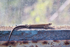 Lizard. Cute lizard basking in the sun Royalty Free Stock Photos
