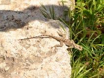 Lizard in Cyprus. Lizard known as kourkoutas in Cyprus Royalty Free Stock Photo