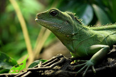 Lizard in the dark Royalty Free Stock Photography