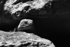 Lizard in the dark royalty free stock images