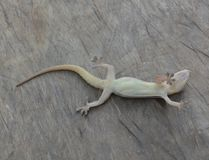 Lizard dead Royalty Free Stock Images