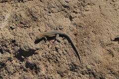 Lizard, Death Valley Royalty Free Stock Images