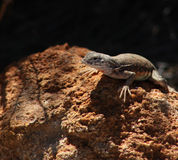 Colorful Lizard sunning on a rock Royalty Free Stock Image