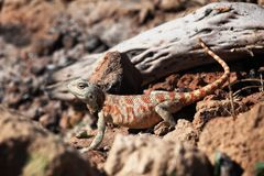 Lizard in desert Royalty Free Stock Image