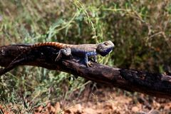 Lizard in desert Stock Photography