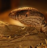 Lizard in the desert. Large lizard (head) looking to the side, in dim brown light stock photography