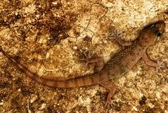Lizard in desert Stock Photos