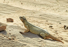 Lizard in the Desert Stock Photos