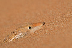 Lizard in the Desert Royalty Free Stock Photography