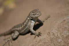 Lizard in the desert. Lizard in its natural habitat Stock Photography