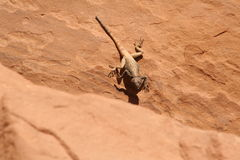 Lizard. In the desert in Jordan Stock Images