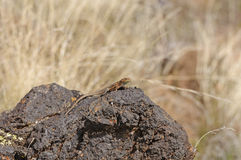 Lizard on Desert Lava. Side-blotched Lizard in Snow Canyon State Park in Utah Royalty Free Stock Photography