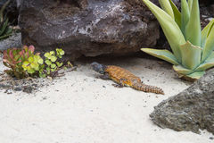 Lizard in the desert Royalty Free Stock Photos