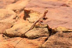 Lizard in the desert (Outback Australia). Picture of a pink lizard, taken in the Northern Territories, Australia Royalty Free Stock Image